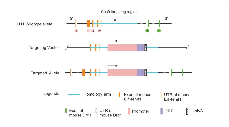 CRISPR/Cas9 H11 Knock-In 마우스